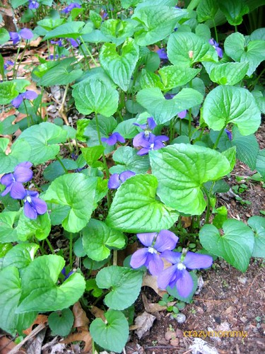 Violets ground cover plants