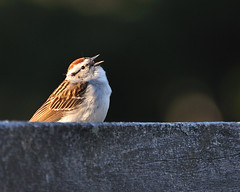 Chipping Sparrow Sing DSC_7783 by Mully410 * Images