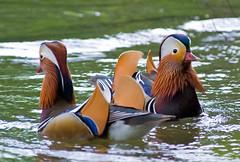Coming And Going Mandarin Ducks (aeschylus18917) Tags: park bird nature japan tokyo duck nikon wildlife aves   drake mandarinduck waterfowl aix aixgalericulata  80400mm inokashirapark anatidae anseriformes 80400mmf4556dvr   d700 80400mmf4556vr  danielruyle aeschylus18917 danruyle druyle inokashiraonshiken