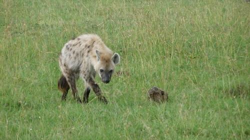 Day 9: Hyena