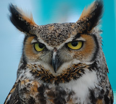 Ohhh....  Do Hurry Up With Your Photo's..... (Wire_cat) Tags: bird owl birdofprey cavalcade eagleowl blueribbonwinner rushden impressedbeauty wirecat rushdencavalcade