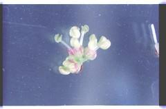 4   080927-1598-010300 (h35312) Tags: 4  zelkova makino serrata ulmaceae  thunb urticales       0809271598010300