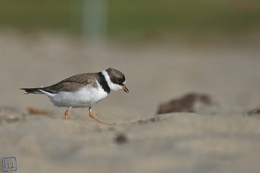Semipalmated Plover 04101-2