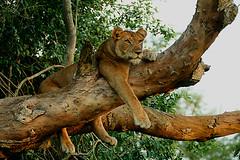 Tree climbing lioness (Tobi Roaming Africa) Tags: nationalpark lion explore uganda frontpage lioness queenelizabeth treeclimbing wfp pantheraleo specanimal ishasha