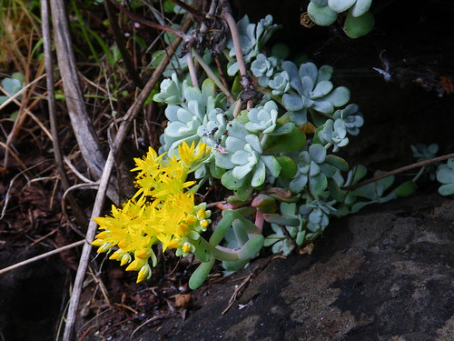 Broad-Leaved Stonecrop