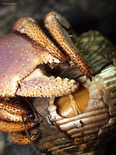 短腕陸寄居蟹Coenobita brevimanus