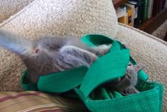 Millie 23 May 2010 1693b 4x6 (edgarandron - Busy!) Tags: cats cute cat kitten play tabby kitty kittens kitties millie dilutetabby