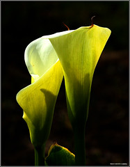 Calla Lillies - Peace Arch Park (West County Camera) Tags: ngc callalillies peacearchpark topshots excellentsflowers natureselegantshots rubyphotographer mimamorflowers awesomeblossoms saariysqualitypictures thebestofmimamorsgroups