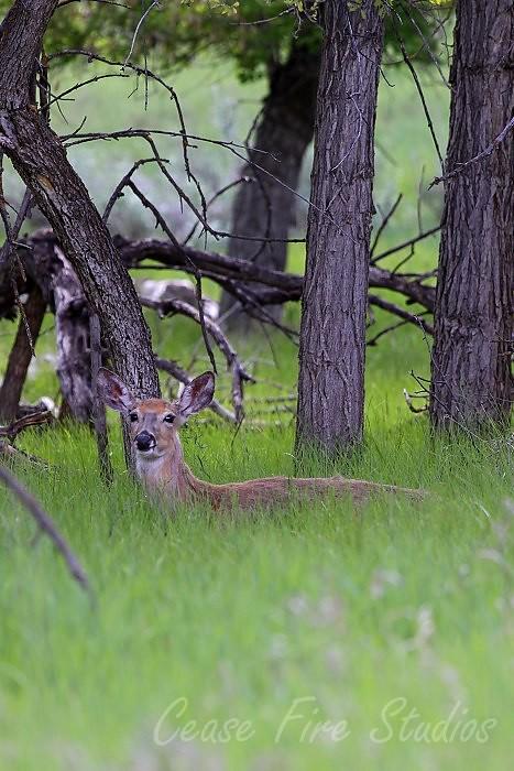05-29-deer1