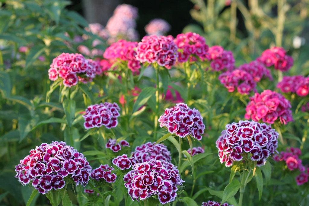 more sweet william 011x