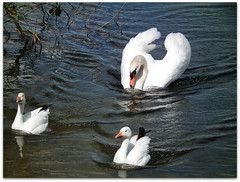 The swan and the snow geese! (macfudge1UK) Tags: uk summer england lake nature water fauna spring swan europe wildlife waterbird lakeside sos waterfowl oxfordshire anser 2010 oxon muteswan cygnusolor snowgeese ansercaerulescens stantonharcourt allrightsreserved hs10 bbcspringwatch countryfile lessersnowgeese lttf fujifilmfinepixhs10 fujihs10 rspblovenature