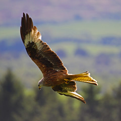 Red Kite (Ian Lambert) Tags: wild nature birds amber flying wildlife flock endangered rare swoop birdofprey dumfries redkite milvusmilvus castledouglas gallowaykitetrail