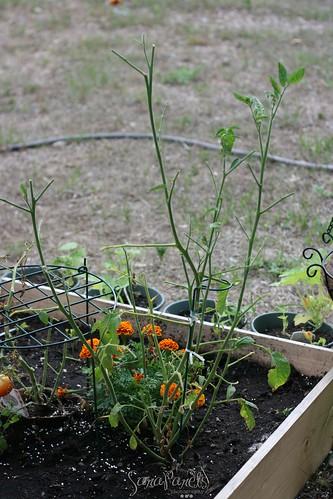 Tomato plant comeback