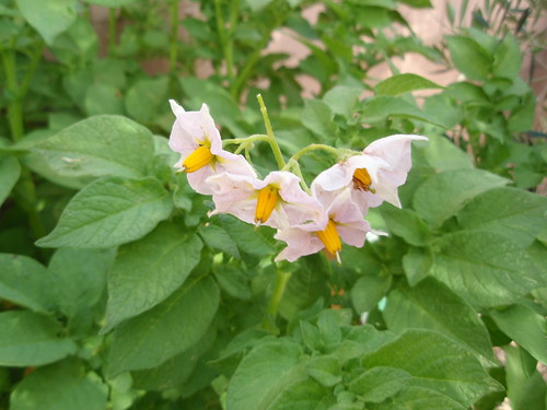 La Ratte Fingerling Potato Blossoms