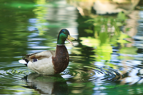 Mallard in Green Water