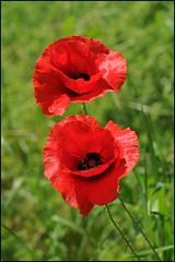 Paired (victor*f) Tags: flowers red summer green switzerland zurich poppies mohn katzensee 50mm14g poppyseasonisntoveryetso ijusthavetogetoutmore