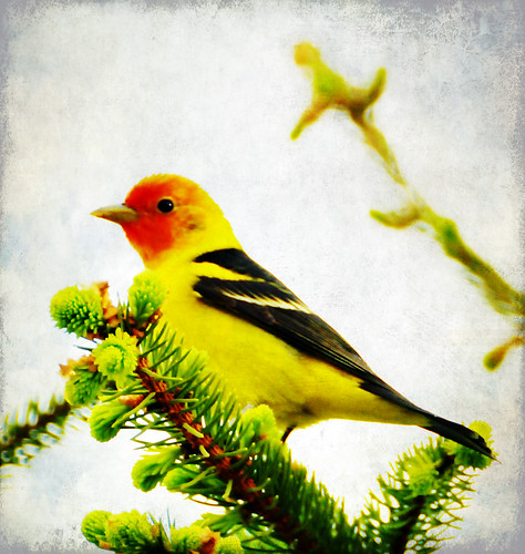 western tanager texture