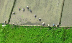 Paddy 02 (<Younes>) Tags: above iran paddy farm  birdsview chalous younes        kolahdouz