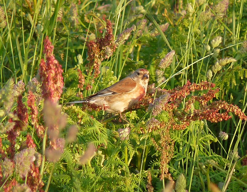 P1050431 - Male Linnet at Rhossili