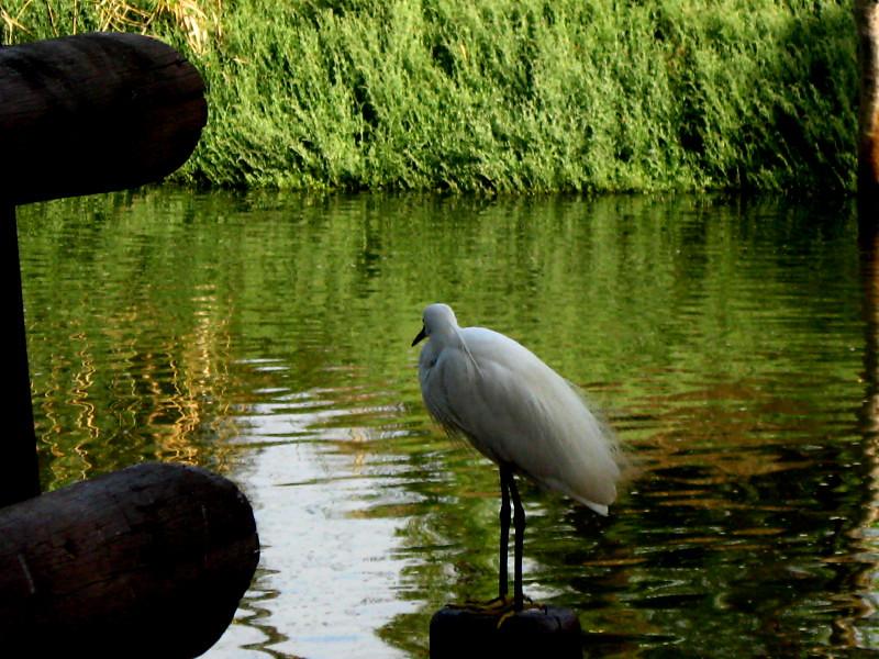 19-06-2010-egret