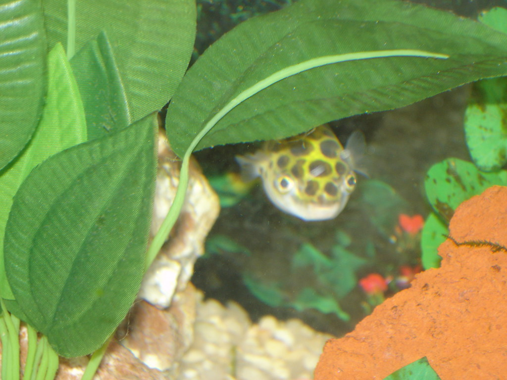 Green Spotted Puffer Fish Jimmy the green spotted puffer