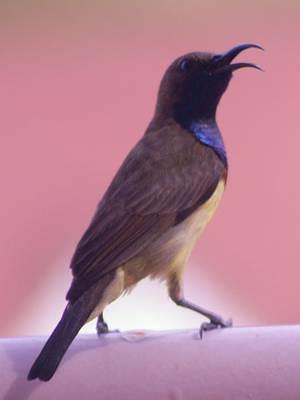 Olive-backed sunbird on balcony