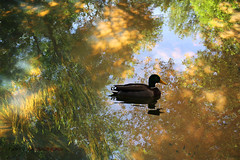 A different perspective (fahid chowdhury) Tags: park autumn lake ny reflection tree water reflections island duck long different belmont perspective fahid chowdhury