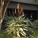 Aloe Vera Plants in Bloom - D2X-10-27-10_162-PS4-1-sm60