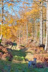 Following the trail (Dan Baillie) Tags: autumn trees dog barley forest scotland labrador path walk stewart newton galloway wigtownshire