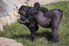 Mama mit Gorillababy (DeanB Photography) Tags: zoo hannover zoohannover tiere tier tierwelt tierpark gefährlich gorilla gorillaberg erlebniszoohannover elefanten ef100400l canon 7dmkii animal animals affen