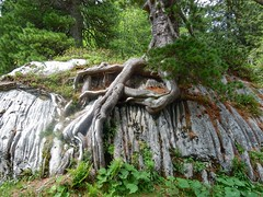 Trees have a will to grow everywhere (sander_sloots) Tags: tree rock mürtschenstock canton glarus boom rots groeien grow berg mountain zwitserland switzerland die schweiz suisse