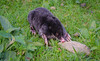 A Mole not in a Hole (daedmike) Tags: mole wildlife digger claws nocturnal lost confused glenesk lochlee scotland furry blind