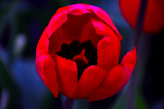 In Red. (Photolove2017) Tags: red colors canada capital tulips tiaphoto macro close up d3100 nikondx nikon nature ontario photolove2017 fest
