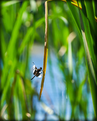 Back In The Game (porclein) Tags: dragonfly reeds pond water peace