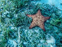 Star Fish Friars' Bay St. Kitts (nikkinicknicol) Tags: star fish snorkel st kitts friars bay beach ocean sea south