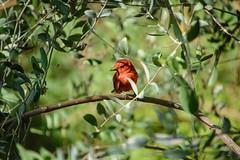Little Darling Full Color (brev99) Tags: d610 tamron28300xrdiif bird red tulsazoo nikoutputsharpener photos dxoopticspro foliage greenbackground bokeh highqualityanimals