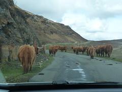 Elgol traffic jam (angelcottage) Tags: hairy coo skye scotland elgol