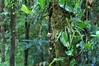 Basse Valle - Tec Tec (ach_gecko) Tags: ocean reunion indian vert lizard gecko chameleon phelsuma lezart borbonica inexpectata