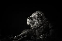 lion_005