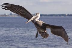 Flying The Friendly Skies (Mona Hura) Tags: county bridge brown bird bay pier florida pelican pensacola municipal panhandle escambia 7287
