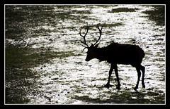 Con paso cansino (ole2006) Tags: agua silueta taconera ciervo ole2006