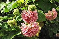 Dombeya wallichii (rq) - 03 - tbnl