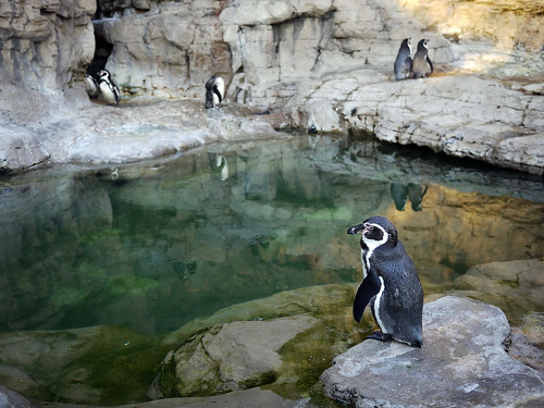 Penguins at the Pool