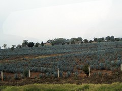 Agave Fields, Nayarit