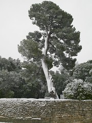 Villevieille-First snow in 2010 (hjfklein) Tags: leica snow tree pine pin lonely villevieille digilux3 hjfklein