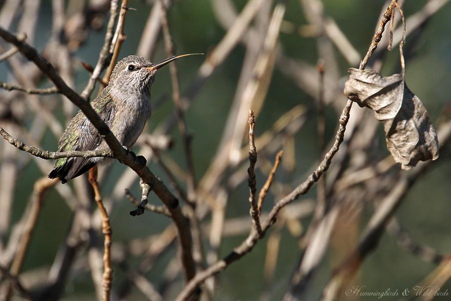 Anna's Hummingbird fledgling 091-8