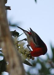 Scarlett 3 (tkmckinn) Tags: birds australia july09