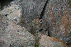 IMG_1257 (chicabrandita) Tags: canada mountains rockies nationalpark jasper american alberta rockymountains 2009 pika princeps ochotona