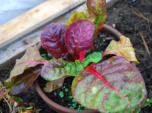 potted chard
