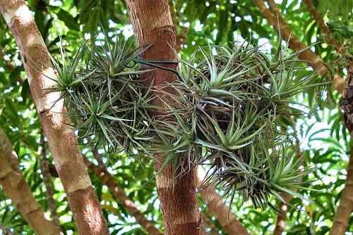 Tillandsia tenuifolia (rq) - 02